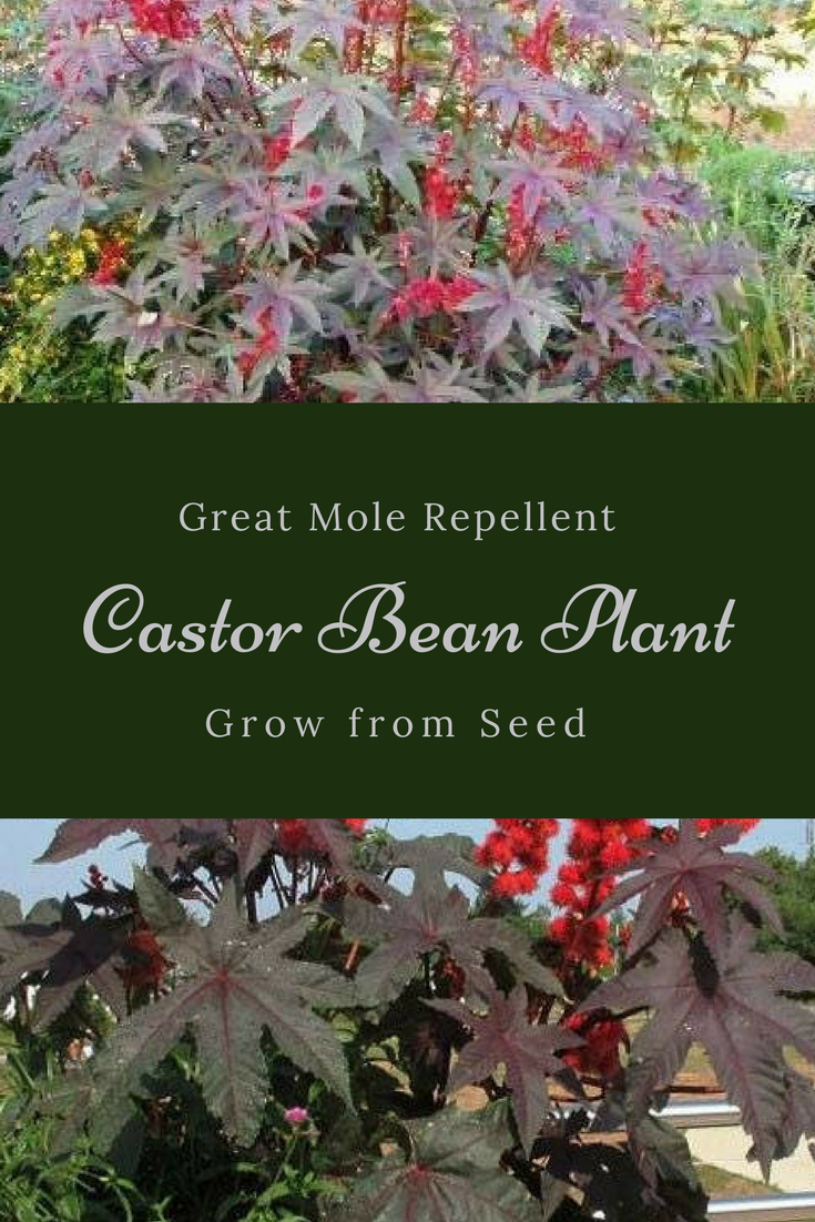 Not Only Is The Castor Bean Plant Interesting To Look At With Its 7 Point