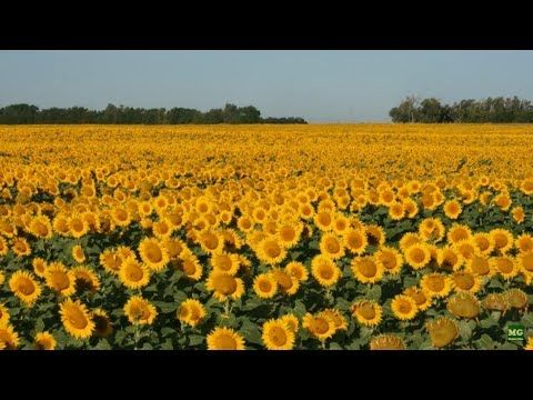 Volunteer Sunflowers and Our Zinnias in the Vegetable Garden. - YouTube
