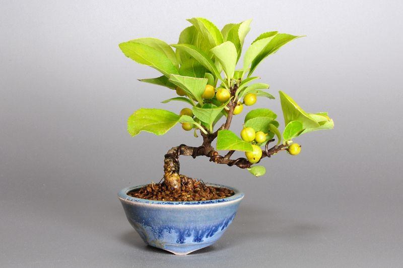 ツルウメモドキZ(つるうめもどき・蔓梅擬)ミニ盆栽の販売と育て方・作り方・Celastrus orbiculatus bonsai