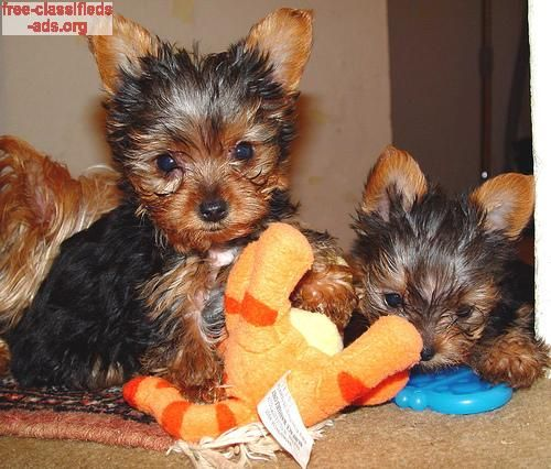 Free Classifieds Ads Org Free Teacup Yorkie Puppies For Adoption Text Me 541 652 8562 Teacup Yorkie Puppy Teacup Puppies Yorkie Puppies For Adoption