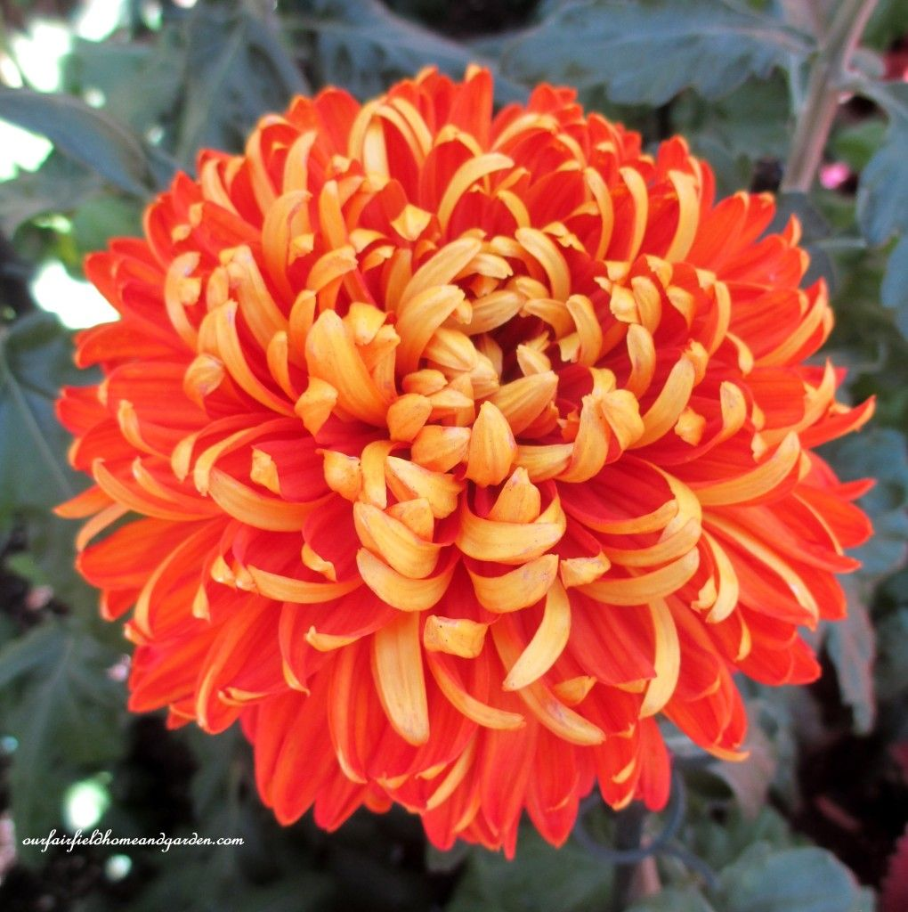 Field Trip ~ Chrysanthemum Festival at Longwood Gardens