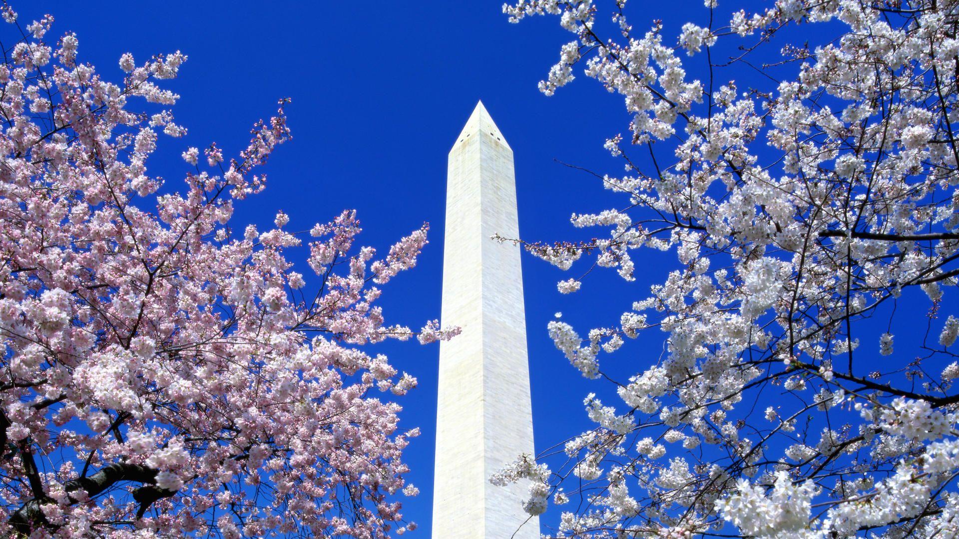 Cherry Blossoms, Washington Monument, Washington, DC