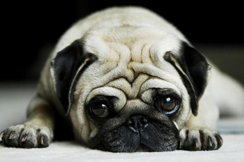 Pug Wallpaper Download Free Hd Backgrounds For Desktop And