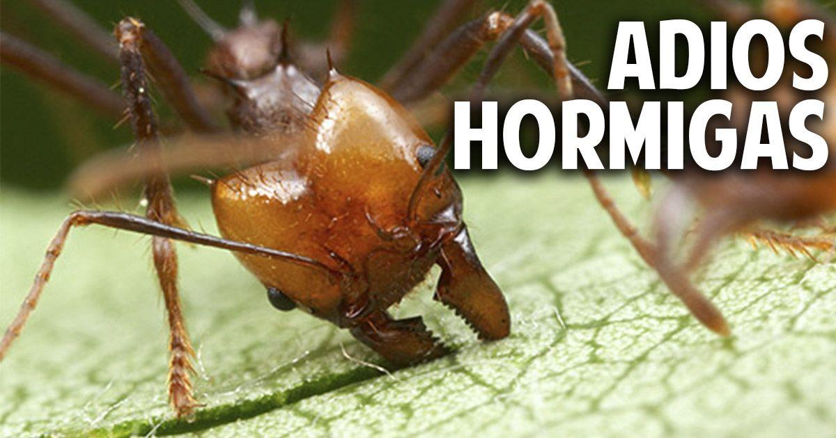 Como eliminar las hormigas del huerto - Novedosa receta casera ...