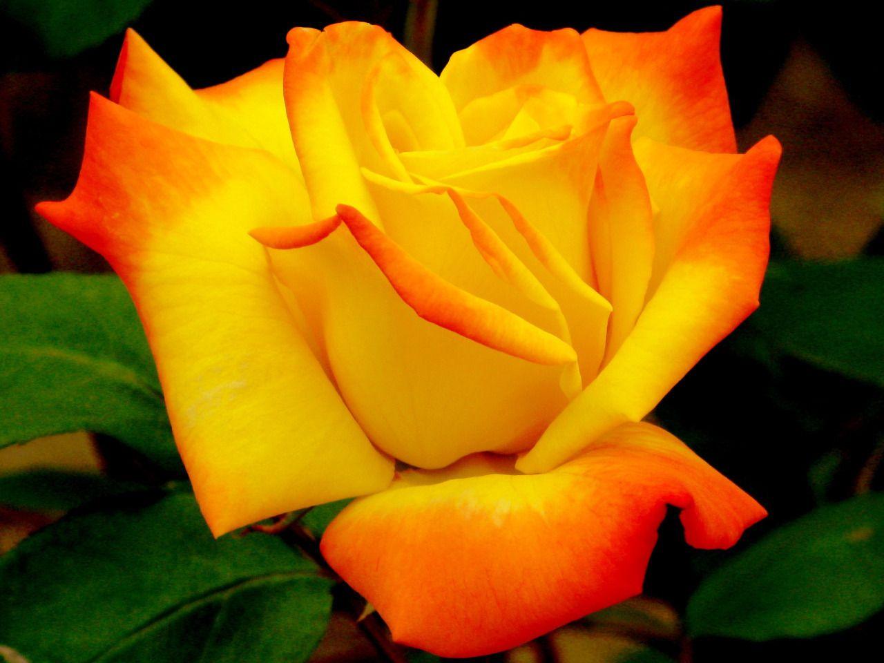 roses Beautiful Color Roses Wallpaper  Fanpop
