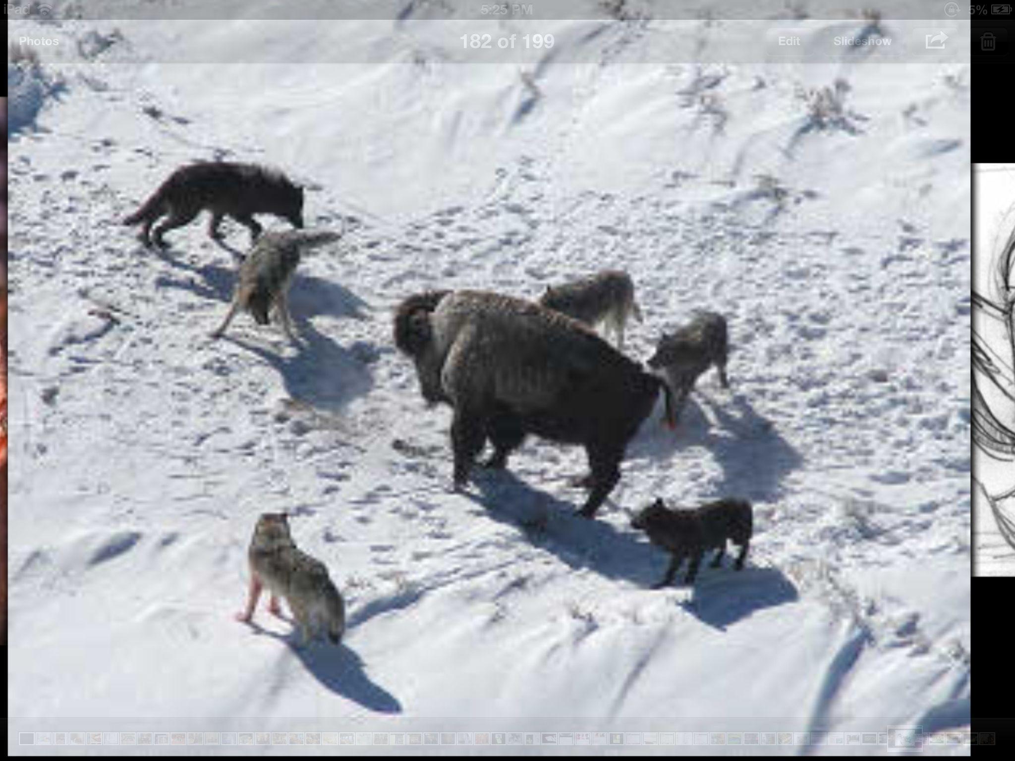 Between bears wolf grey wolf animals wild