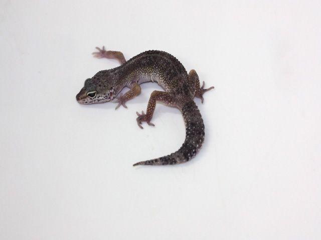 Black Pearl Charcoal | Leopard Geckos | Leopard Geckos ... - photo#36