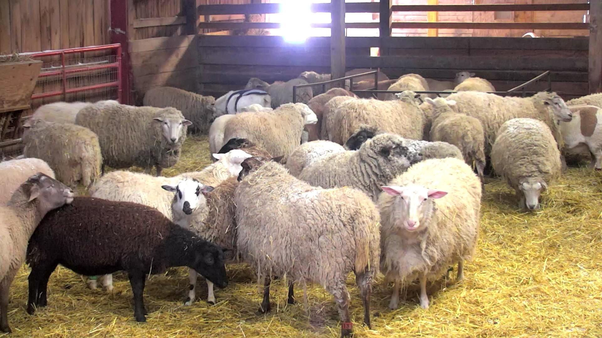 Watch lambs and ewes on the sheep cam! This barn camera ...