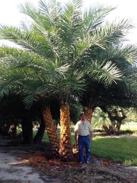 Triple Sylvester Palm Floridian Vegetation Tropical