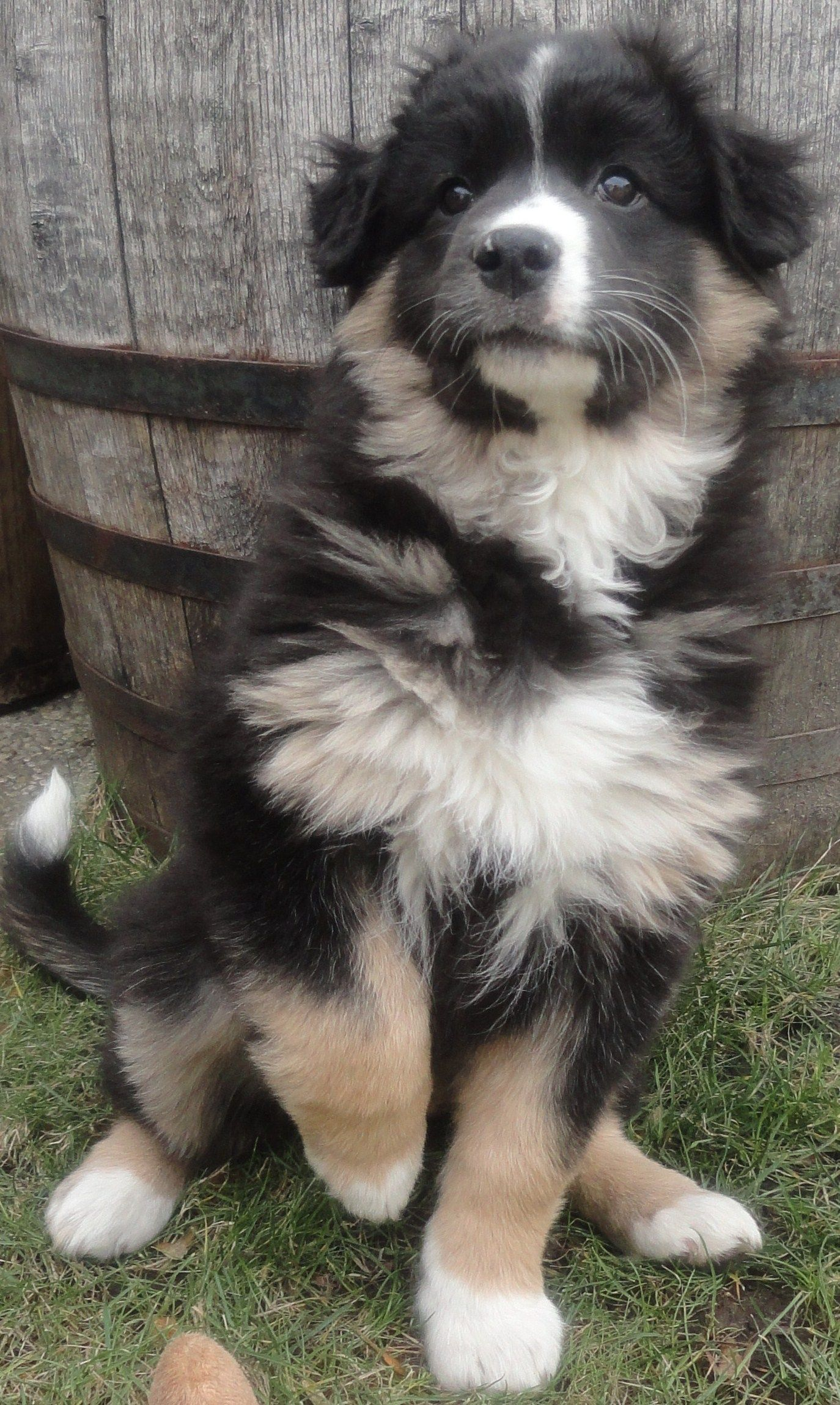 Lena Appenzeller Sennenhund Australian Shepherd Border Collie Animals Dogs Collie Puppies Und Fluffy Dogs