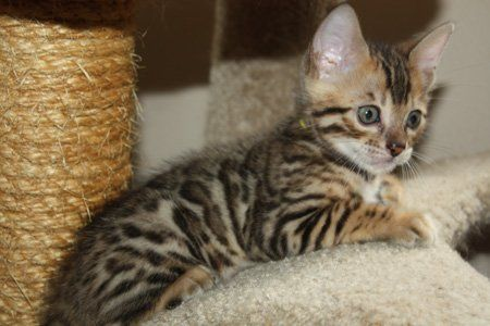 Pin by mystic_Ley on Cats =^.^= Bengal kitten, Bengal