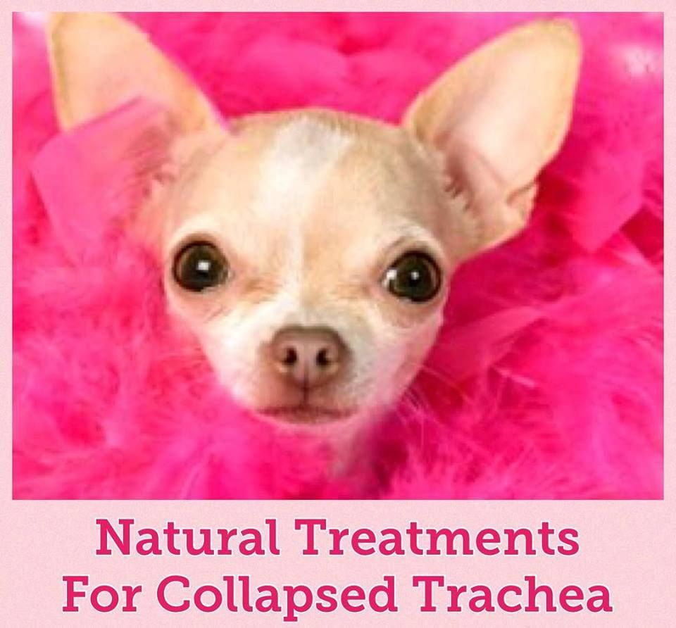 Natural Remedies For Collapsed Trachea in Dogs | Collapsing