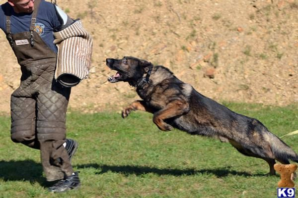 German Shepherd Dog Dog Breed Information Working Dogs Military