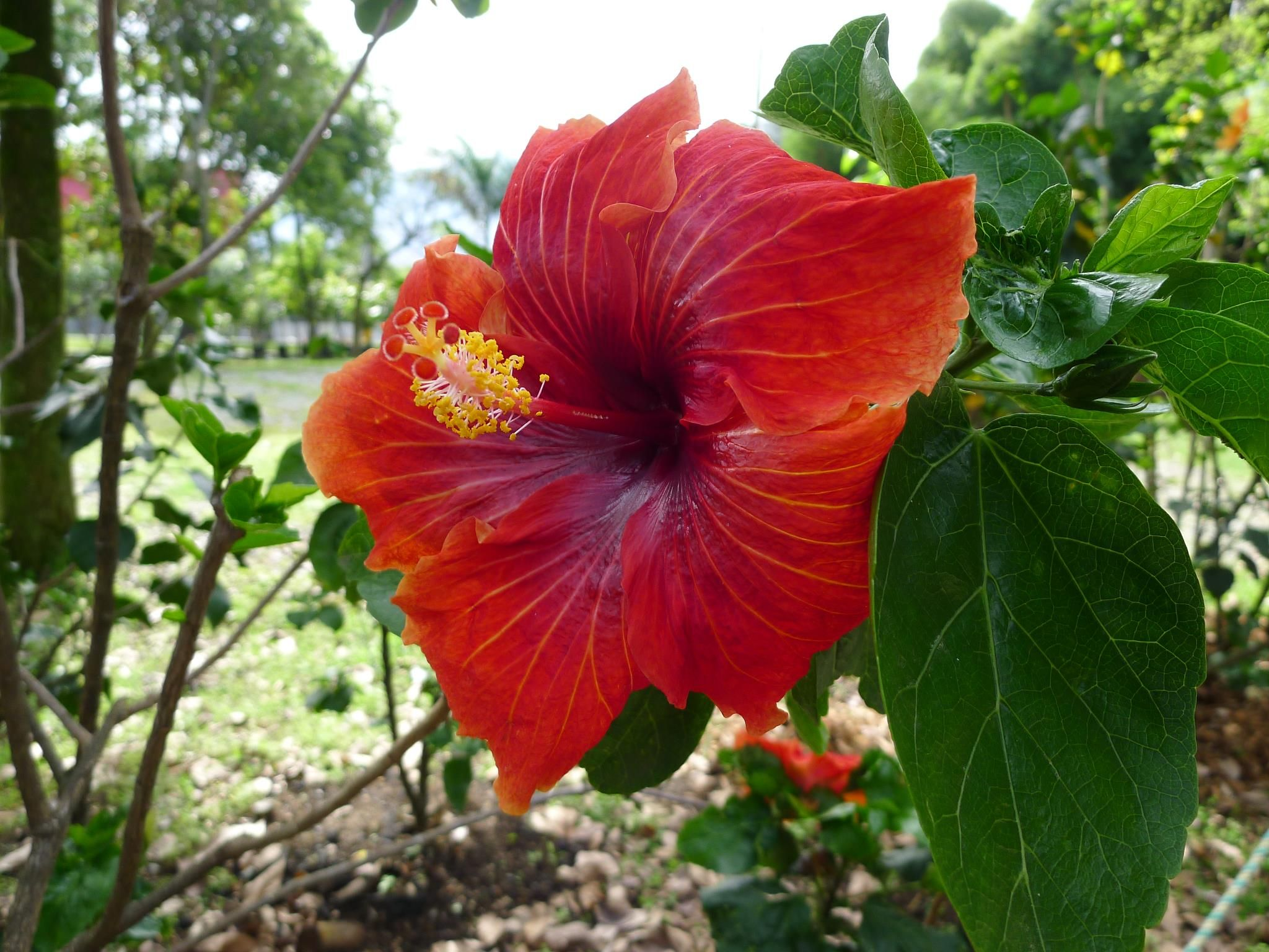 Gumamela Hibiscus Philippine Flower Philippines I Will Be There