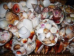 More Shells from Sanibel