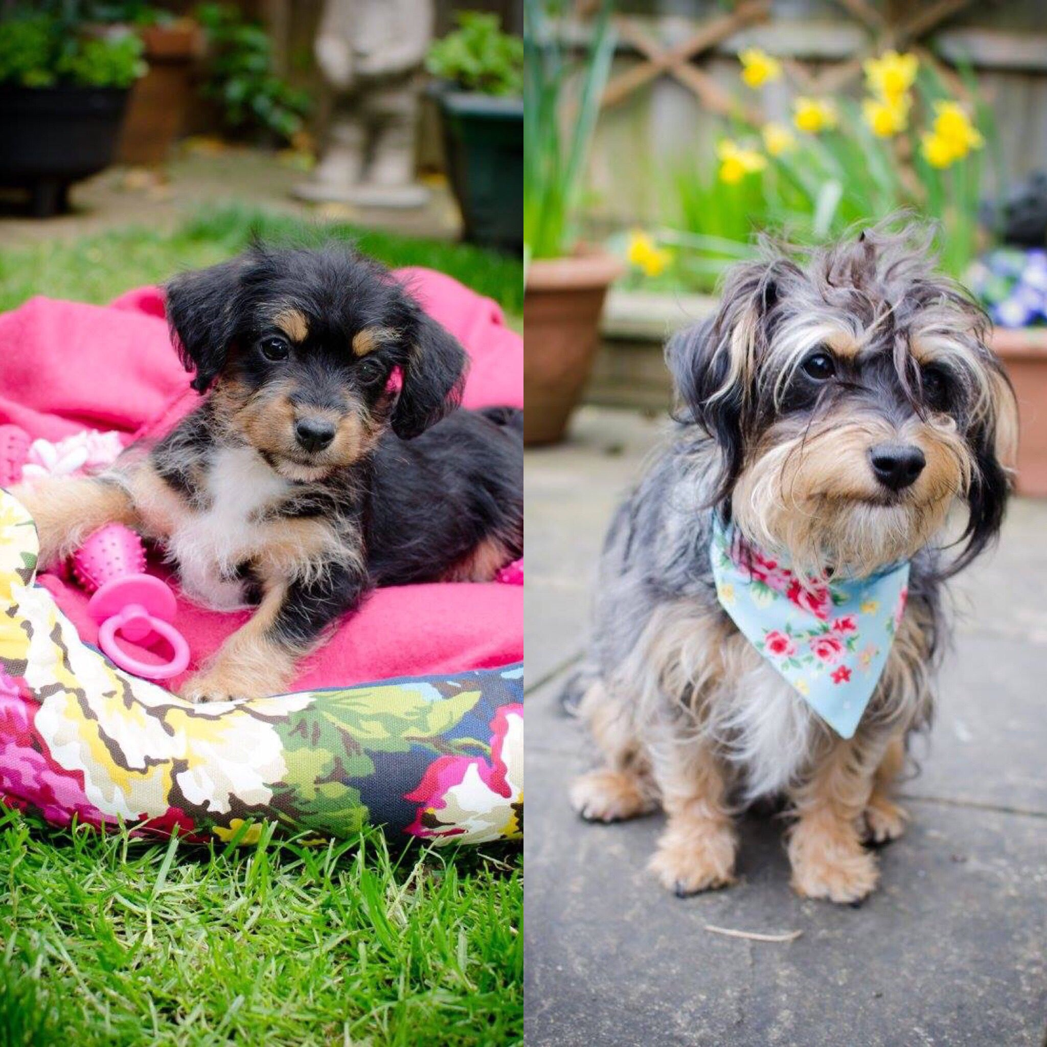 What A Jackapoo Dog Looks Like 8weeks Old And 1year Old Dogs Puppies Dogs And Puppies