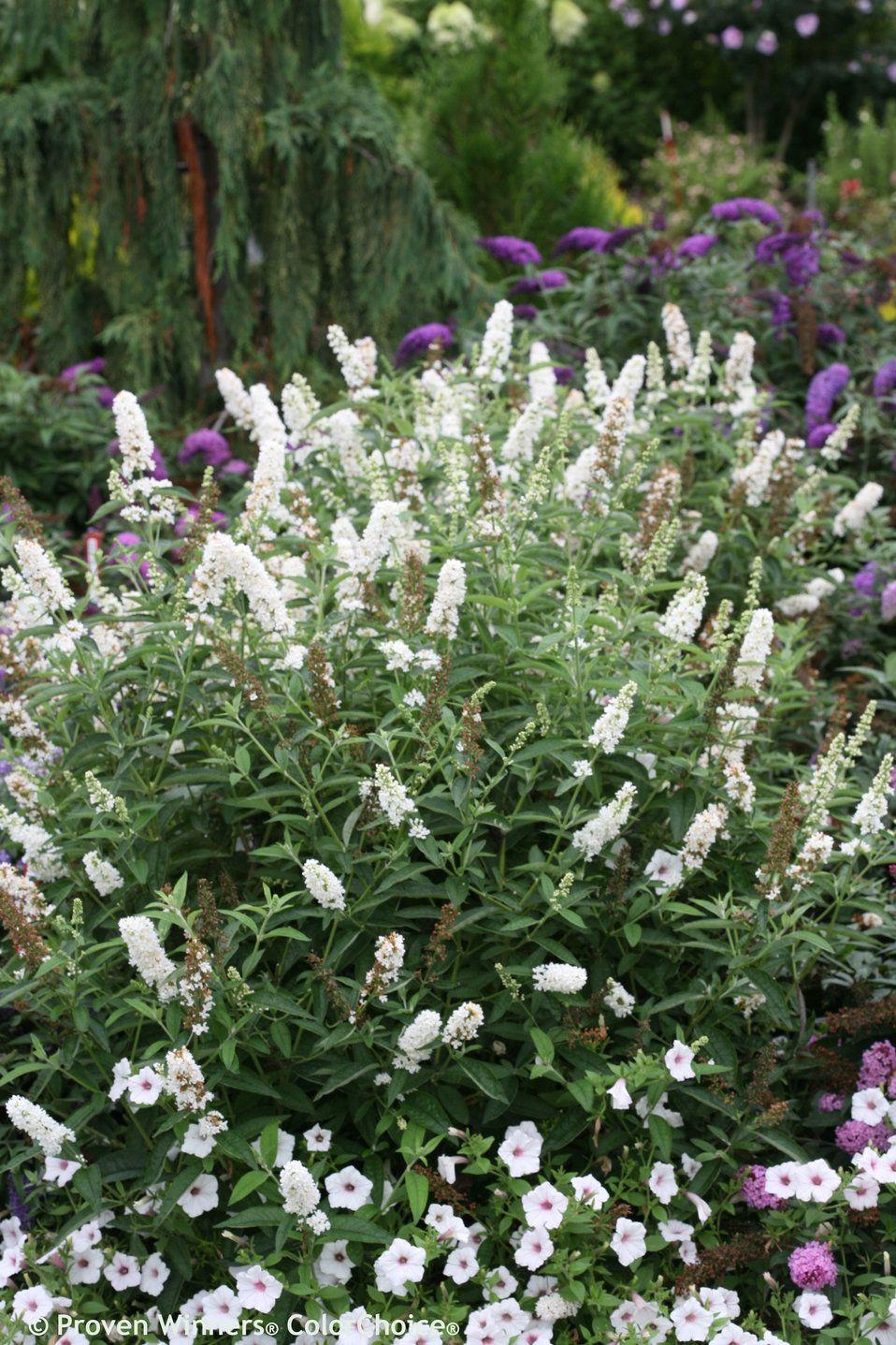 Pin On Favorite Perennials
