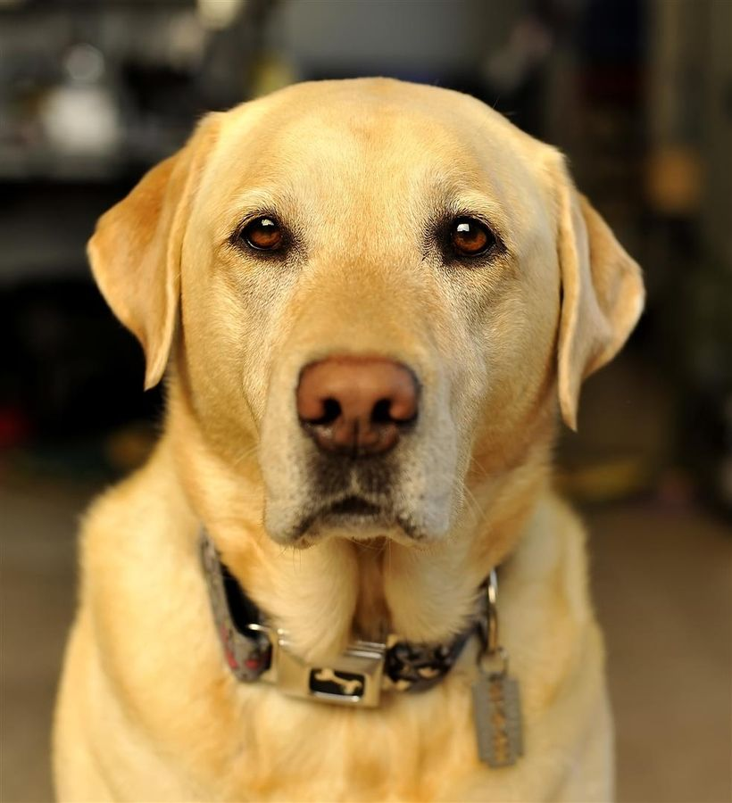 Yellow Labrador Retriever...beautiful! Reminds me of our ...