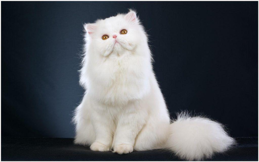 White Persian Cat Wallpaper White Persian Cat Wallpaper Kucing