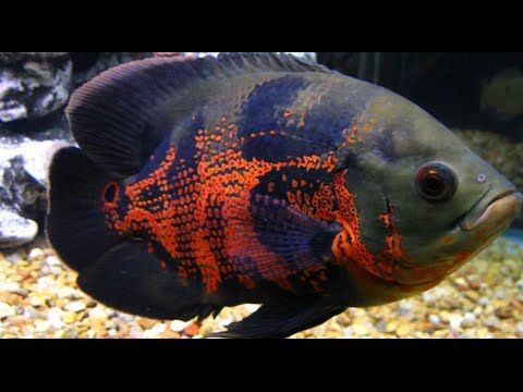 Https Www Youtube Com Watch V Xdfhvfwxeiu Feature Share Oscar Fish Pet Fish Cichlid Fish