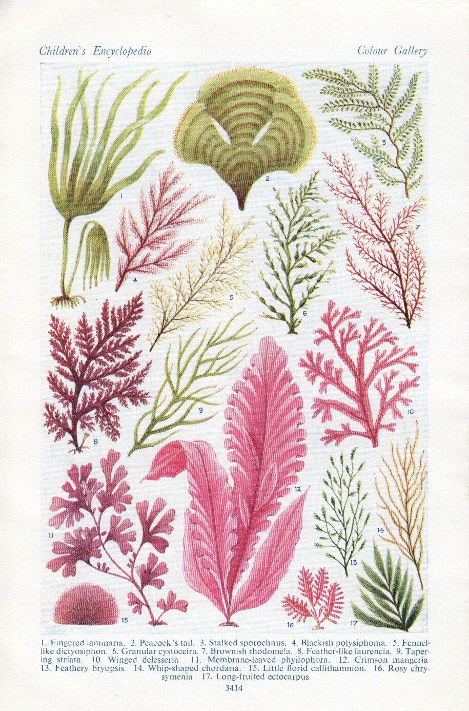 vintage algae sea weed print sea plants ocean beach decor bedroom