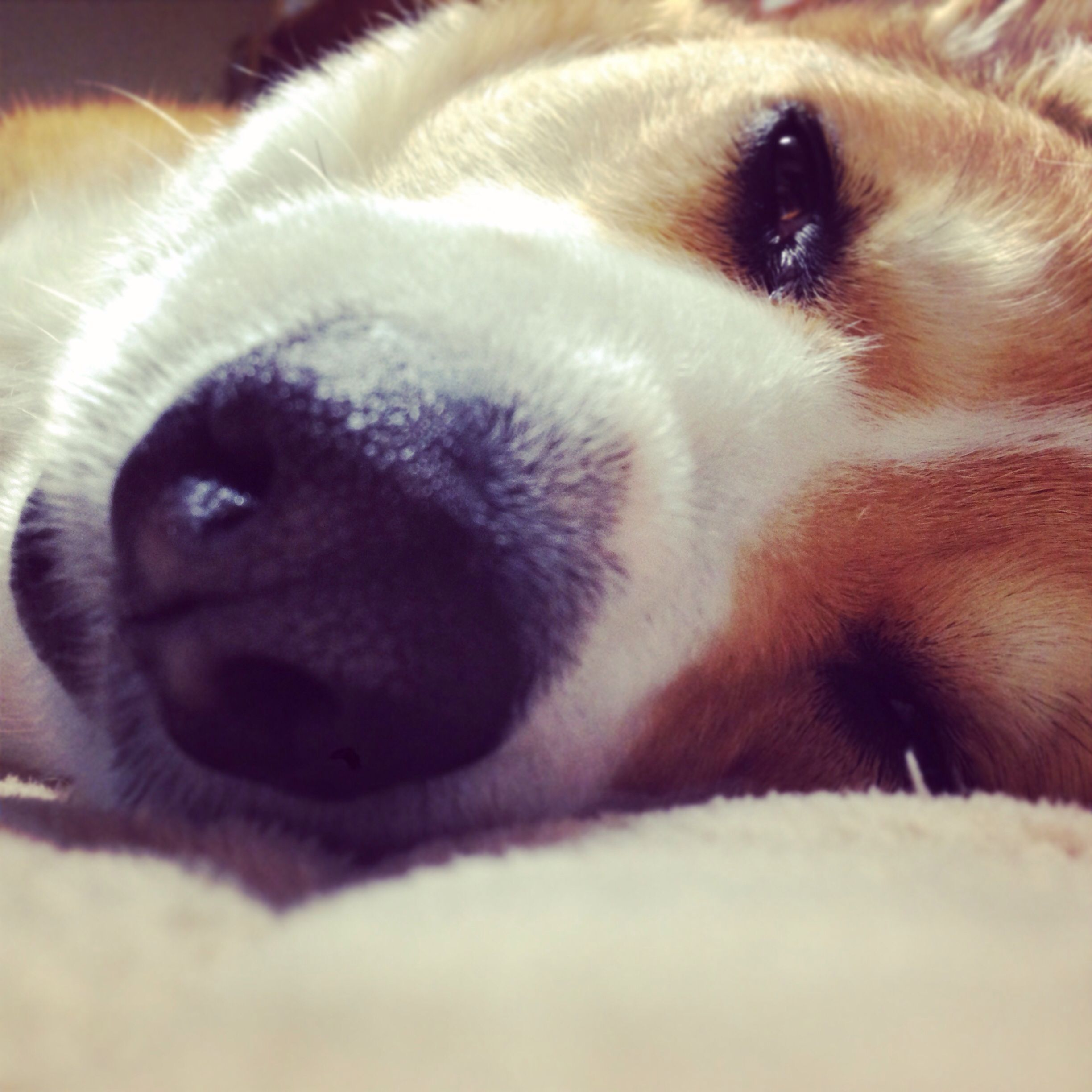 I'm sleeping.... #dog #corgi