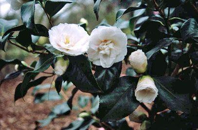 Camellia Japonica Tricolor Camellia Tricolor Rhs Gardening Shade Plants Plants Camellia