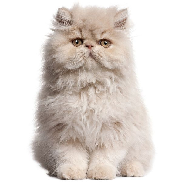 Young Persian Cat Sitting In Front Of White Background Cute Cats Persian Cat Fluffy Cat