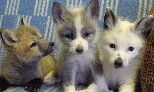 domesticated russian fox pups