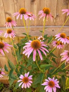 Inexpensive Perennial Flowers For Your Garden Flowers Perennials