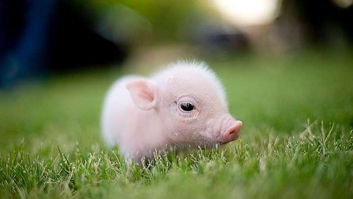 Aue Schweine