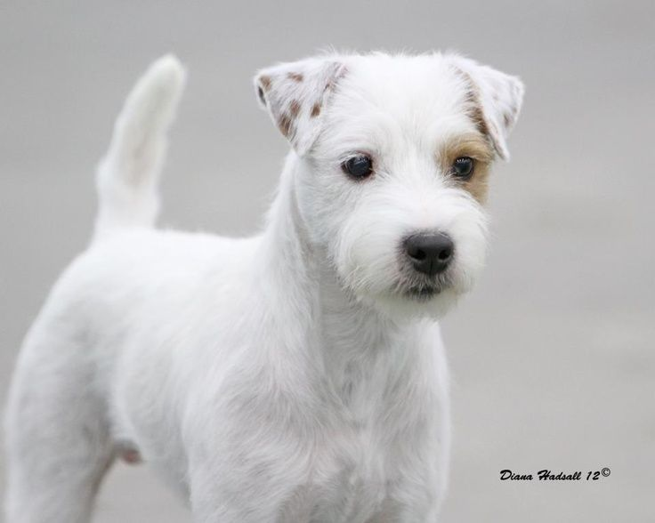 Jack Russell Terrier Long Hair Long Haired Jack Russel