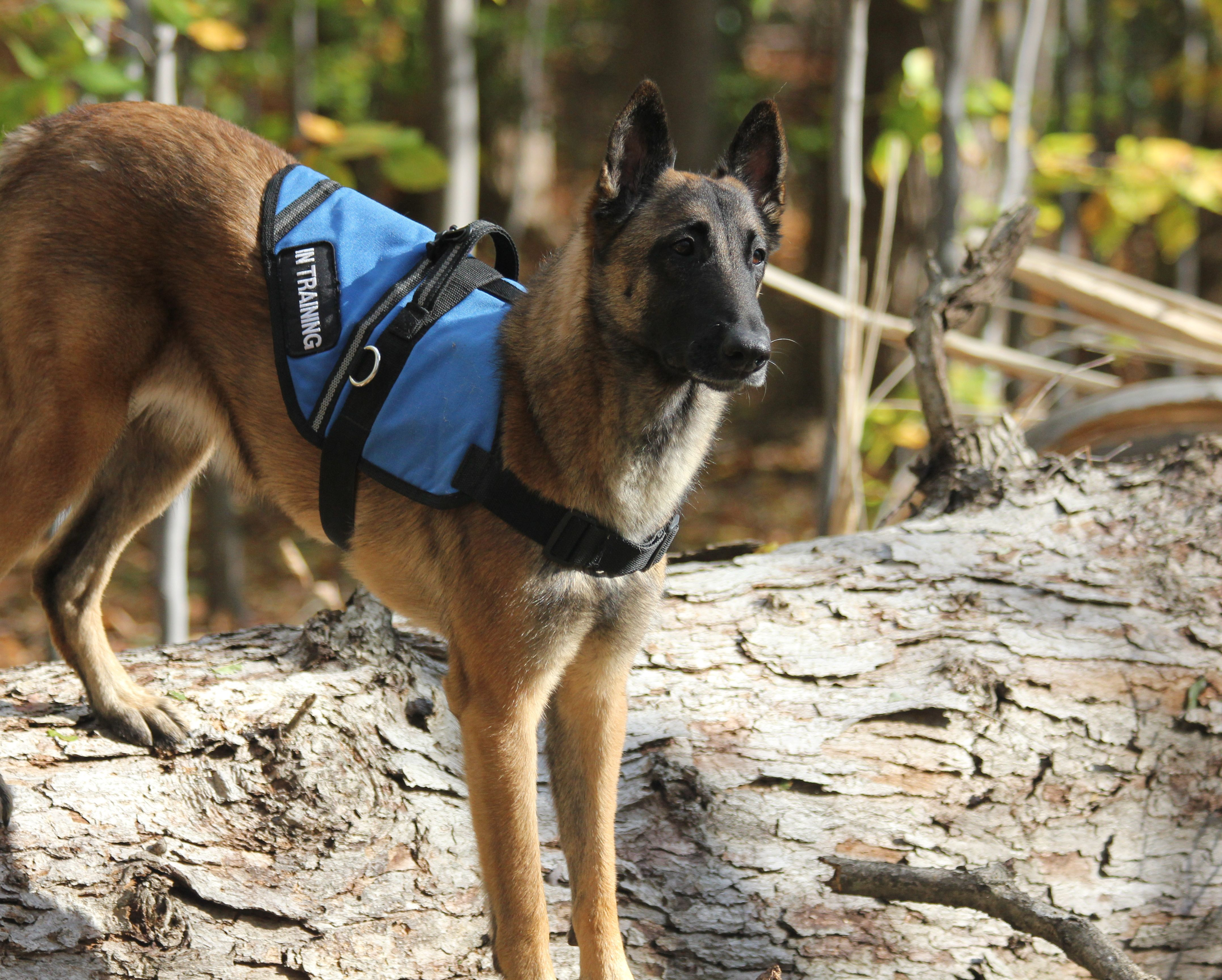 Belgian Malinois Security Guard Easy To Train And Dangerous