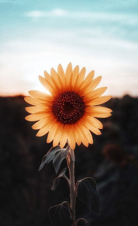 20+ Ideas wallpaper iphone sunflower sunflowers flower - Garden Care, Garden Design and Gardening Supplies