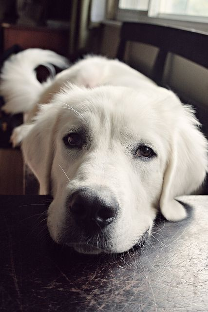 English Cream Golden Retriever S Picture By Kate Uhry