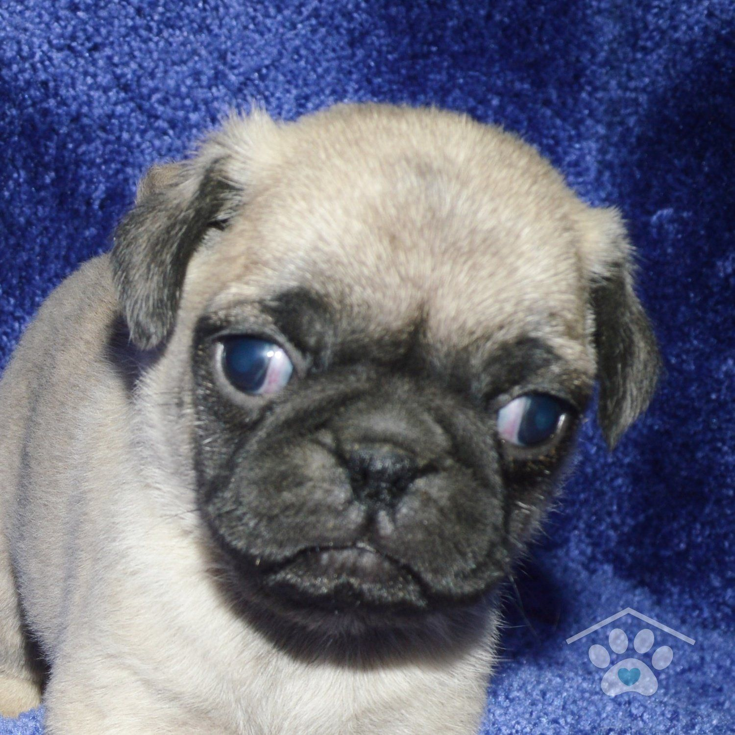 Meet Otis He Is A Good Looking Male Fawn Pug Puppy With A Great
