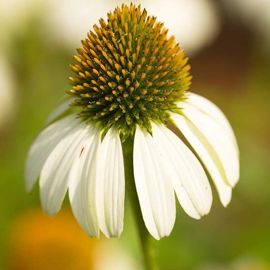 Top coneflower selections big plants gardens and plants primadonna white with a name like primadonna we expected a little bigger plant this mightylinksfo