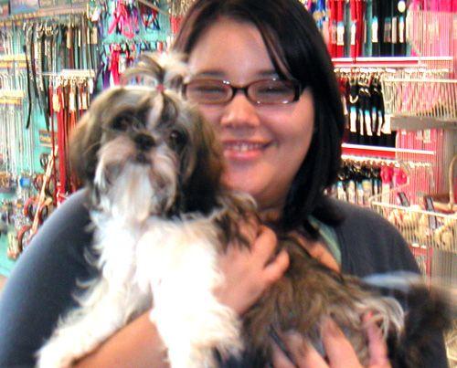 Female Brindle White Shih Tzu City Pets Shih Tzu I Love Dogs