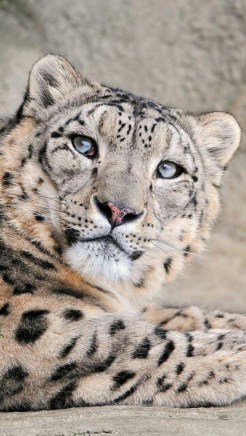 Pin Von Davinci Auf Tiere Schneeleopard Tiere Wild Grosse Katzen