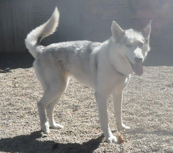 Adopt Sadie On White Siberian Husky Dog Love Siberian Husky Dog