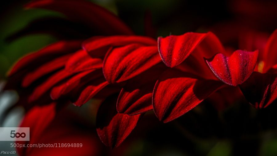 Rouge passion by pacoco71. Please Like http://fb.me/go4photos and Follow @go4fotos Thank You. :-)