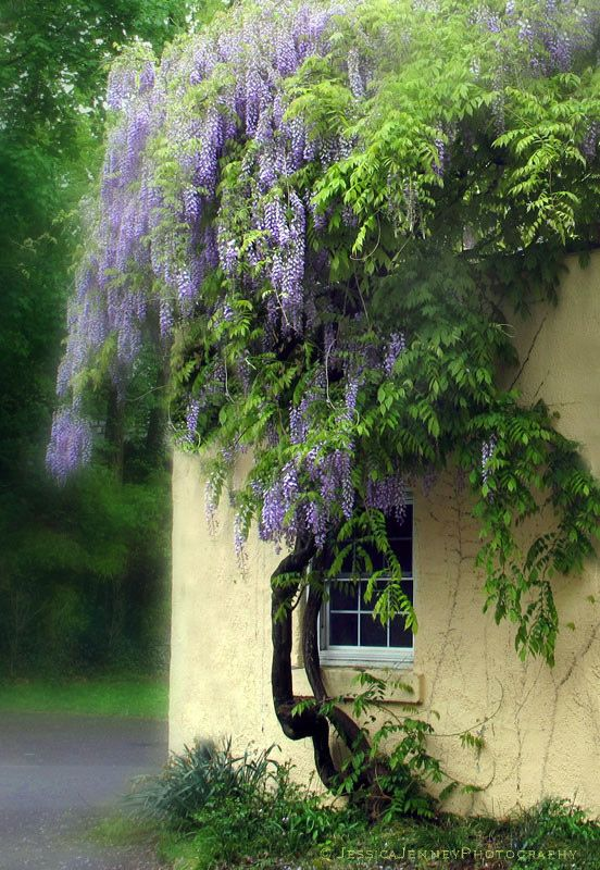 Spring Wisteria...one of my absolute favorites!