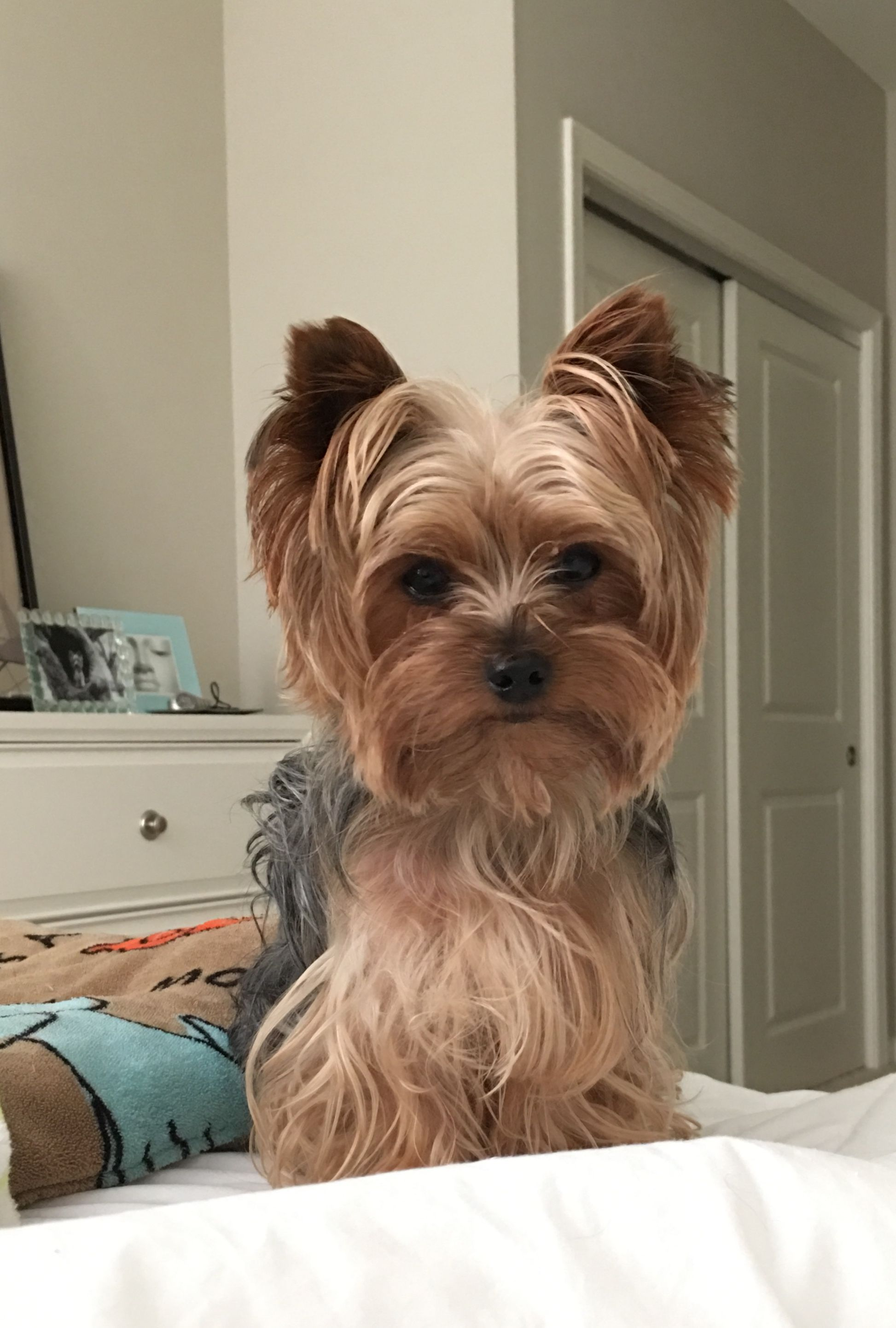 Stevie Yorkie Love Bed Head Yorkie Haircuts Yorkshire Terrier Yorkshire Terrier Puppies
