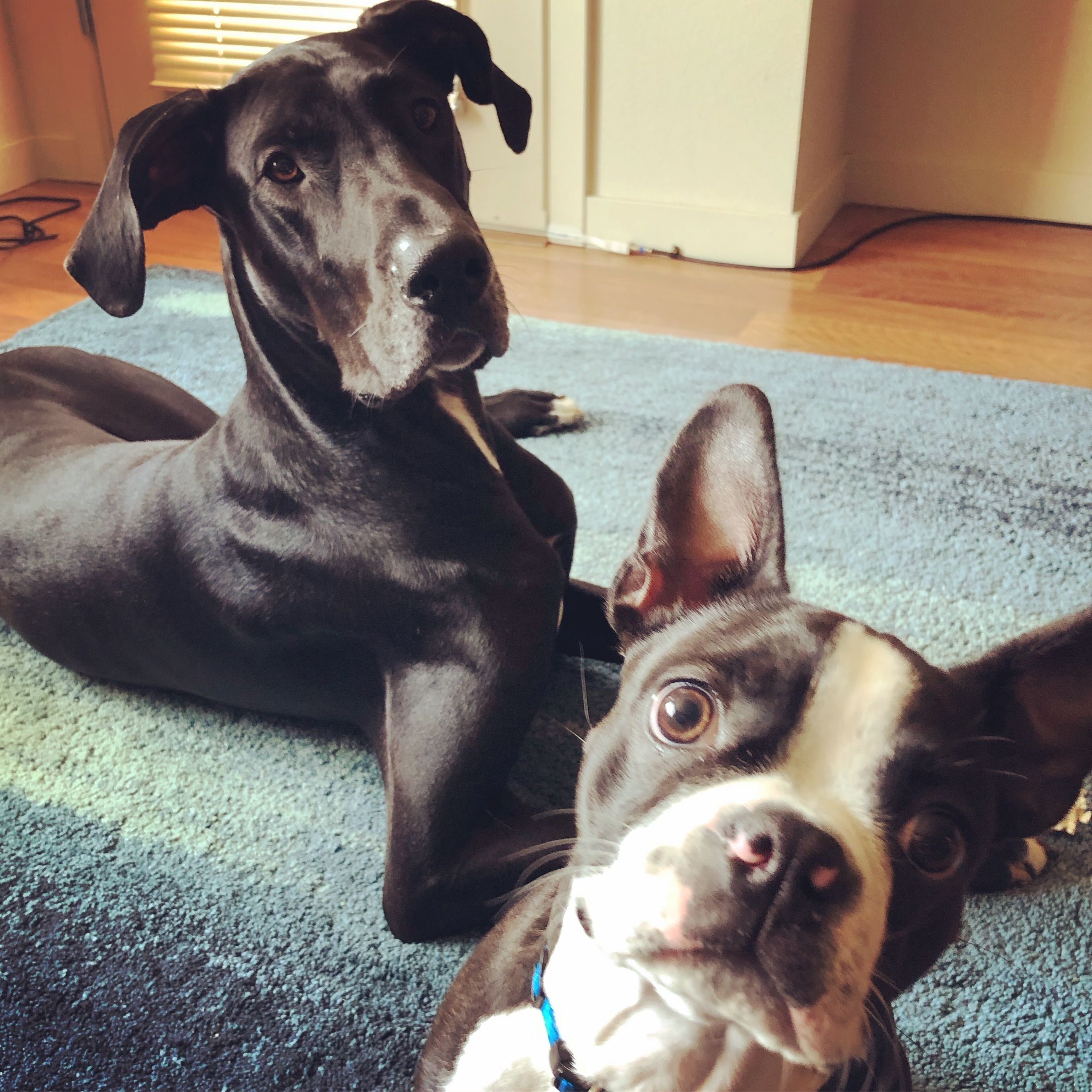 Great Dane Boston Terrier Best Friends Boston Terrier Terrier
