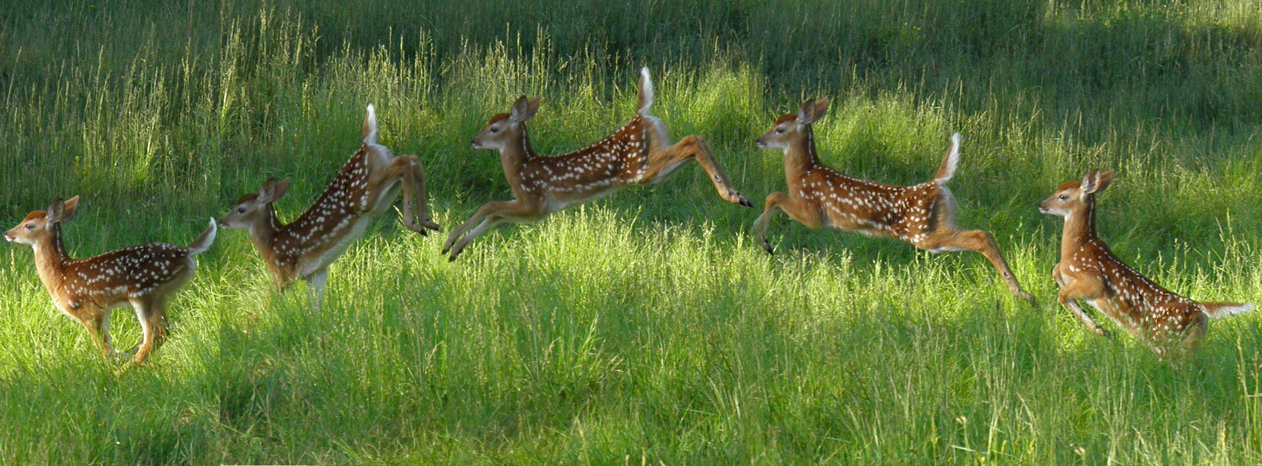 deer jump - Google 검색