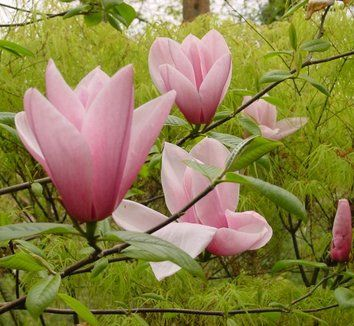 Magnolia Star Wars 1 Flower Star Wars How Can I Not Have This Flower Magnolia Plants Purple Flowers