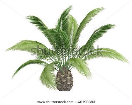 Canary Date Palm Tree Isolated Canary Date Palm This Short