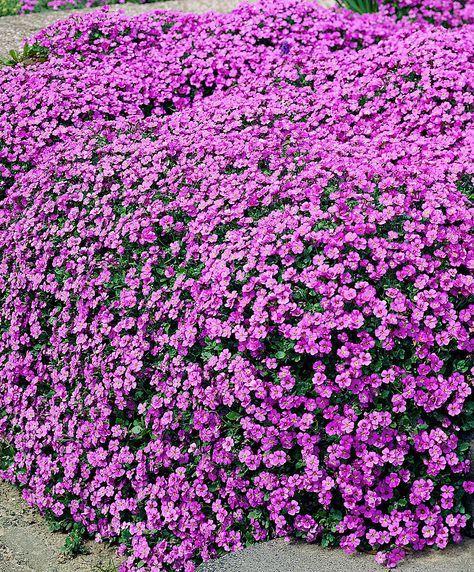 Pflanzen Fur Steingarten 7 Pflegeleichte Vorschlage Winterharte Stauden Stauden Steingarten Pflanzen