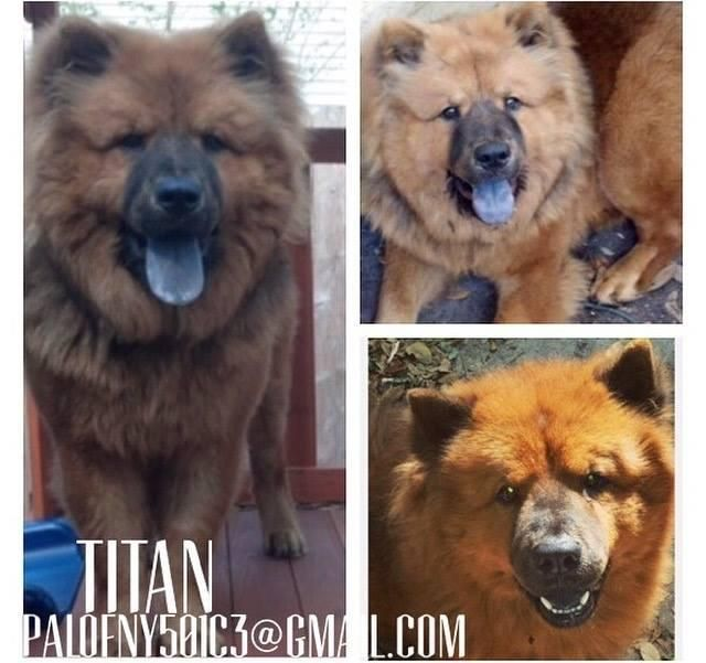 Adopt Titan On Dogs Chow Chow Dogs Cats