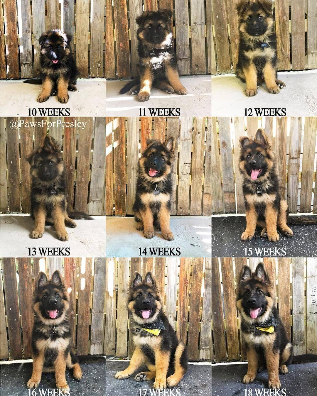 German Shepherd Dog Gsd On Instagram They Grow Up So Fast Follow Presley Pawsforpresl In 2020 Shepherd Puppies German Shepherd Dogs German Shepard Puppies